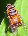 Which flower fly is this? - Palpada vinetorum