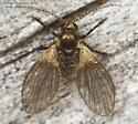 Psychodidae ? - Trichomyia
