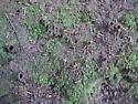 Antrodiaetus riversi - California Turret Spider burrows - Atypoides riversi