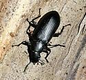 False Mealworm Beetle - Alobates pensylvanica