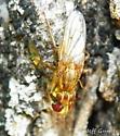 Mating flies - Scathophaga stercoraria