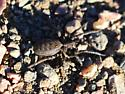 Unknown terrestrial spider crossing hiking trail midday - Alopecosa kochi