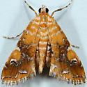 Nebulous Munroessa Moth - Elophila nebulosalis