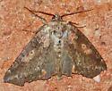 unknown moth - Pseudothyatira cymatophoroides