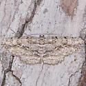 Anavitrinella pampinaria - female
