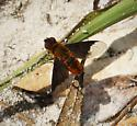 Chrysanthrax species,? Bombyliidae