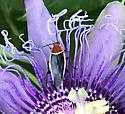 Pseudomops septentrionalis on passion flower - Pseudomops septentrionalis