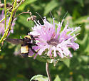 big bumble bee - Bombus auricomus