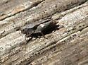 Brown Grasshopper - Tettigidea lateralis - female