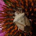 Unidentified stink bug - Euschistus servus