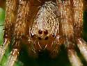 Araneus - Neoscona