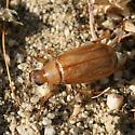 Tan Desert Beetle - Coenonycha