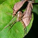 Spider   - Dolomedes