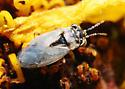 Big-Eyed Bug - Geocoris pallens