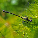 Grappletail - Octogomphus specularis - male