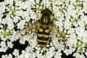 Syrphidae - maybe Syrphus torvus? - male