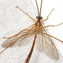 Short-winged Ichneumon Wasp - Enicospilus purgatus - male