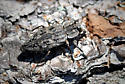 Beetle - Chrysobothris dentipes