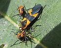Red & black bug - Oncopeltus fasciatus