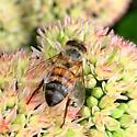 Bee on sedum - Apis mellifera