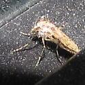 Tanypodinae? - Chaoborus