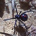 Black widow of some kind - Latrodectus mactans