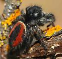 Phidippus - Phidippus johnsoni - male