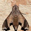 Enyo lugubris - female