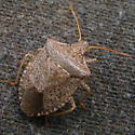 Brown Stink Bug? - Euschistus conspersus