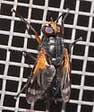 Unknown fly - Euthera - male