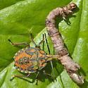Bug i.d. please - Apoecilus