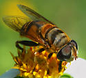 fly - Palpada vinetorum