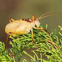 Katydid - Paracyrtophyllus robustus - male