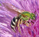 sweat bee - Agapostemon virescens