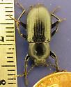 15mm dark tenebrionid - Centronopus calcaratus - male