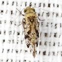 Common Barklouse - Trichadenotecnum