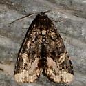 Black Wedge-Spot - Homophoberia apicosa