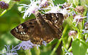 duskywing butterfly? - Erynnis horatius