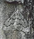 Nepytia pellucidaria - male
