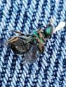 Green Fly on Nodding Ladies Tresses