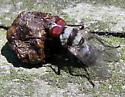 Root-Maggot Fly  - Anthomyia
