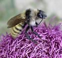 Yellow bumble bee - Bombus appositus - male