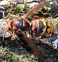 Large Hymenopteran - Vespa crabro