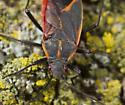 Easten Boxelder bug  - Boisea trivittata