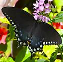 Black with Blue Accent Butterfly - Papilio troilus - female