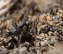 Male Pardosa? - Pardosa - male