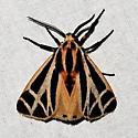 Apantesis phalerata -Harnessed Tiger Moth - Apantesis phalerata