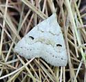 another Crambid?  - Chytolita morbidalis