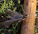 Bugzilla - Corydalus cornutus