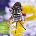 Epeolus cuckoo bee - Epeolus pusillus - female